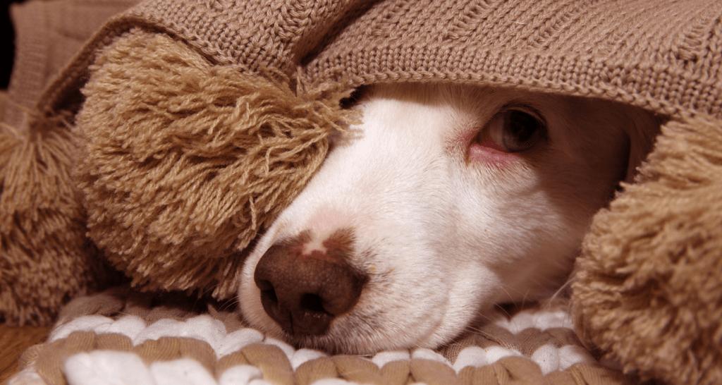 Фойерверки и домашни любимци - 4 начина да помогнете на кучето да се справи със страха